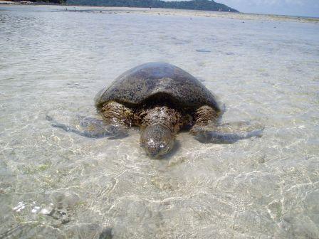 Tortue échouée sur la plage de N'Gouja - Mayotte (février 2007)